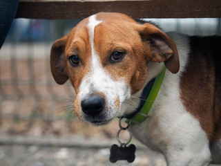 The look is smart, sad dog. Portrait of a dog breed Jack Russell