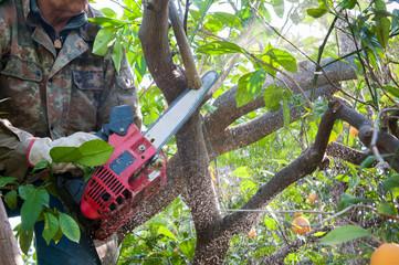 Orange tree pruning