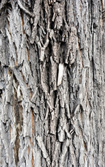 the texture of the tree bark elm