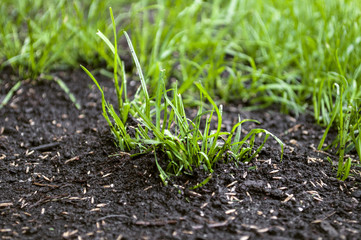 Rasen mit Rasensamen