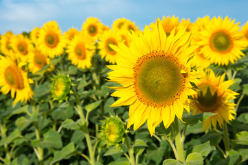 Blooming sunflowers on a background of blue sky