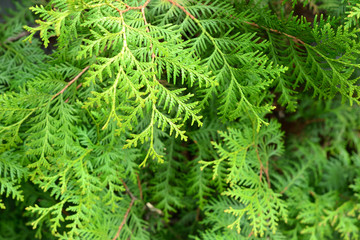 Simple photo of thuja brances with fresh leafs