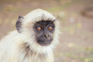 gray monkey in jaipur