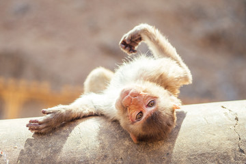 gray monkey in jaipur