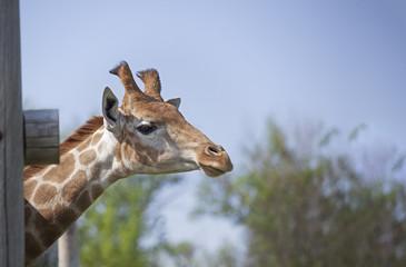 Head of Giraffe near a wooden fence