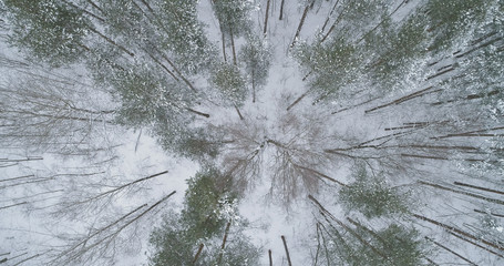 aerial top view of pine forest on a winter day