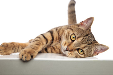 adorable tabby british fold lying on one side