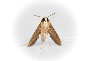 Moth-front