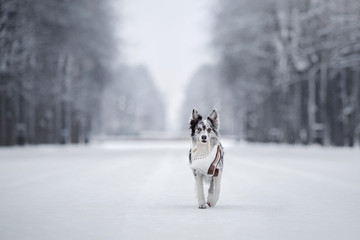 Portrait of a Marble Border Collie in Snow in Winter