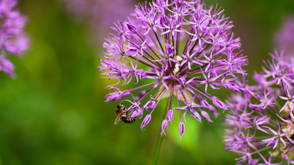 close-up of blooming purple ornamental onion with a bee that collects nectar