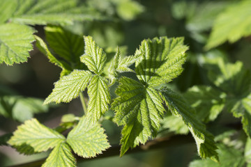Fresh green leaves of raspberry.