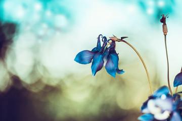 Elegant blue flowers at bokeh background. Columbine flowers