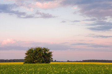 Tree in the field against the background of blooming rape and sky in the evening colors. Summer landscape