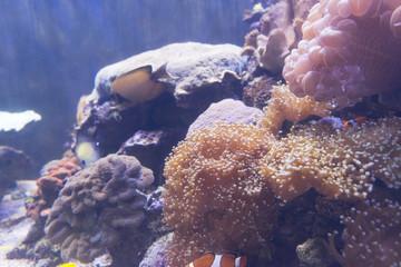 Marine life sea anemone Condylactis gigantea underwater in the sea