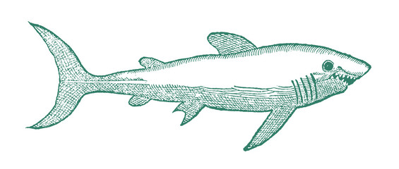 Shark with open mouth in profile view. Illustration after a historical or vintage woodcut from the 16th century