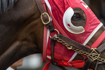 Closeup of horse wearing racing tack