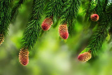 Young pine cones on the branches of a pine tree. Natural blurred background with coniferous plant at spring season