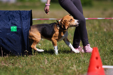 dog in agility competition