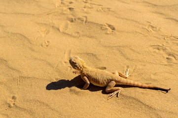 Spotted toad-headed Agama on sand