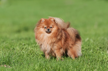Cute Pomeranian spitz dog on a green grass