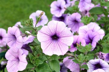 красивые цветы петуньи фиолетового цвета