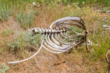 Skeleton of a dead horse in Kalmyk steppe