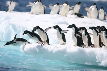 Ingelijste posters Pinguin Adelie penguins jump into the ocean from an iceberg