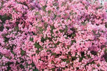 Beautiful pink oleander flowers are blooming on the tree. Flower pattern.