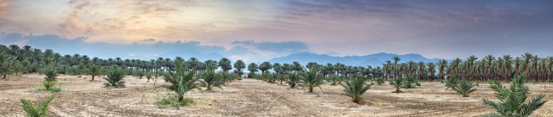 Panorama. Young plant of palms.Plantation of date palms. Image depicts advanced tropical agriculture in the Middle East