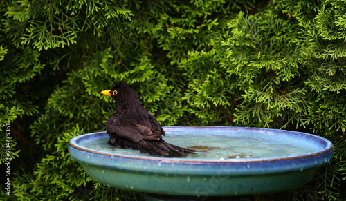 Gartenvogelbadamsel Stock Photo And Royalty Free Images On