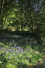 Spring flowering bluebells cover the ground of Hillhouse Wood, West Bergholt, Colchester, Essex, England