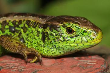 Lacerta agilis; sand lizard in Berschis