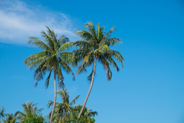 Coconut tree and blue sky.