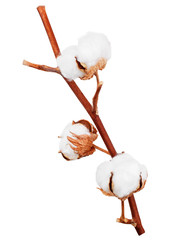 Branch of cotton plant isolated on white background