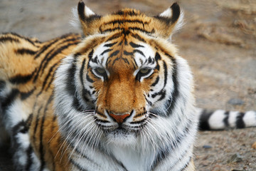 close up on front view of tiger