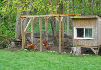 close up on chicken in side coop in back yard