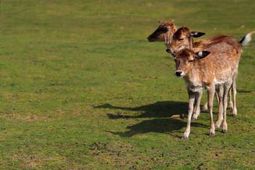 Three fallow deers (dama dama)