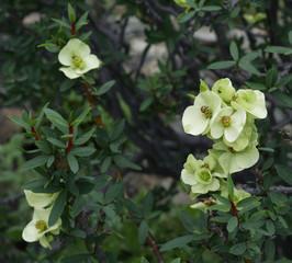 Flower of the Atacama Desert,  Euphorbia Lactiflua.