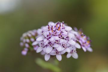 Flower of the Atacama Desert, Polyachyrus Poeppigii.