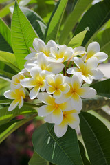 Purity of white Plumeria or Frangipani flowers. Blossom of tropical tree. (selective focus)