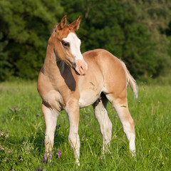 Portrait of nice american quarter horse