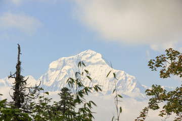 Branches of trees with Dhaulagiri snowed Mountain on the background in Nepal