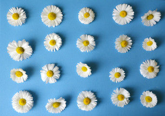 floral pattern of white  chamomiles (daisies) on a blue background. flat.top view