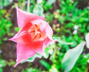A Dutch tulip is spreading. Candid.