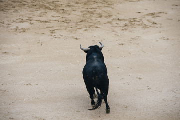 Bull in a typical Spanish Bullfight