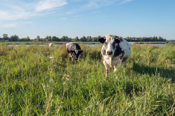 Black white spotted cows in a landscape with tall grass