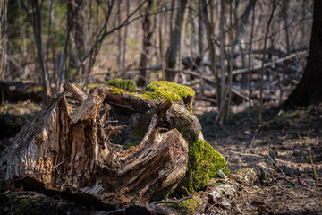 Moss on a stump in a spring forest