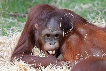 Funny young orang-utan