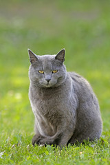 Cat Russian Blue, sitting in grass, portrait