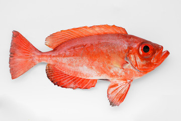 Red Bigeye Snapper (Heteropriacanthus cruentatus) from Florida isolated on white background